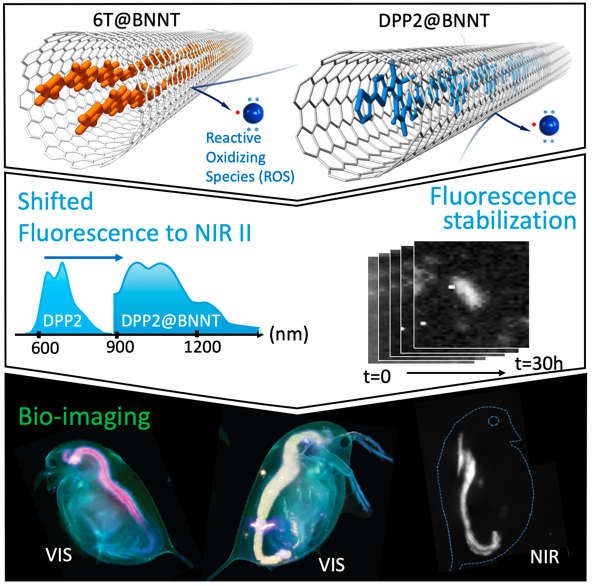 Confinement of dyes inside boron nitride nanotubes: photostable and shifted fluorescence down to the near infrared